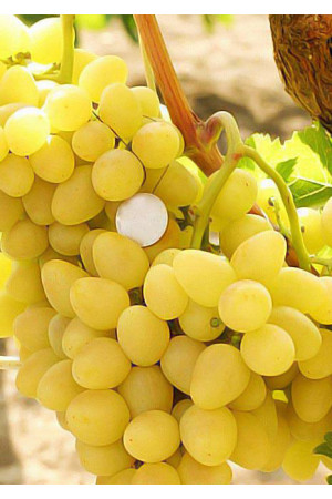 Виноград Бажена