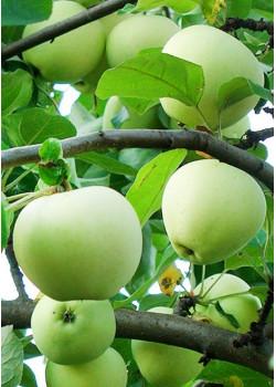 Яблоня Антоновка обыкновенная